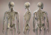 Antibiotic perturbation of the gut microbiota influences bone development